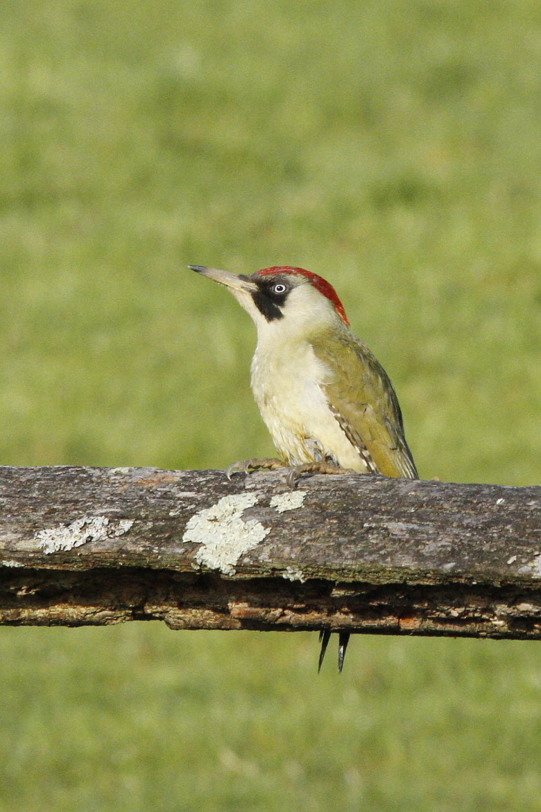 Photograph green woodpecker by natalie philp on 500px