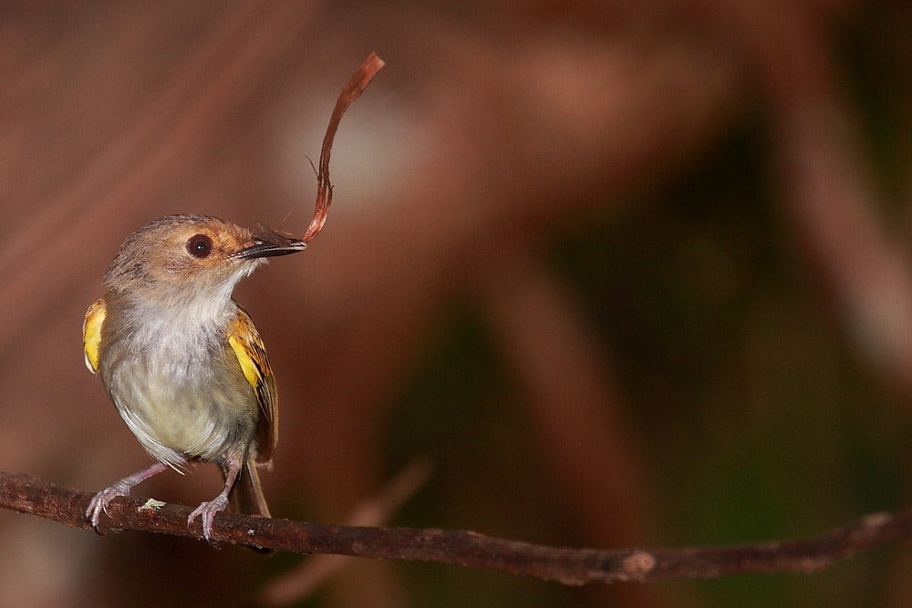 Photograph Rusty-fronted Tody-Flycatcher by Demis Bucci on 500px