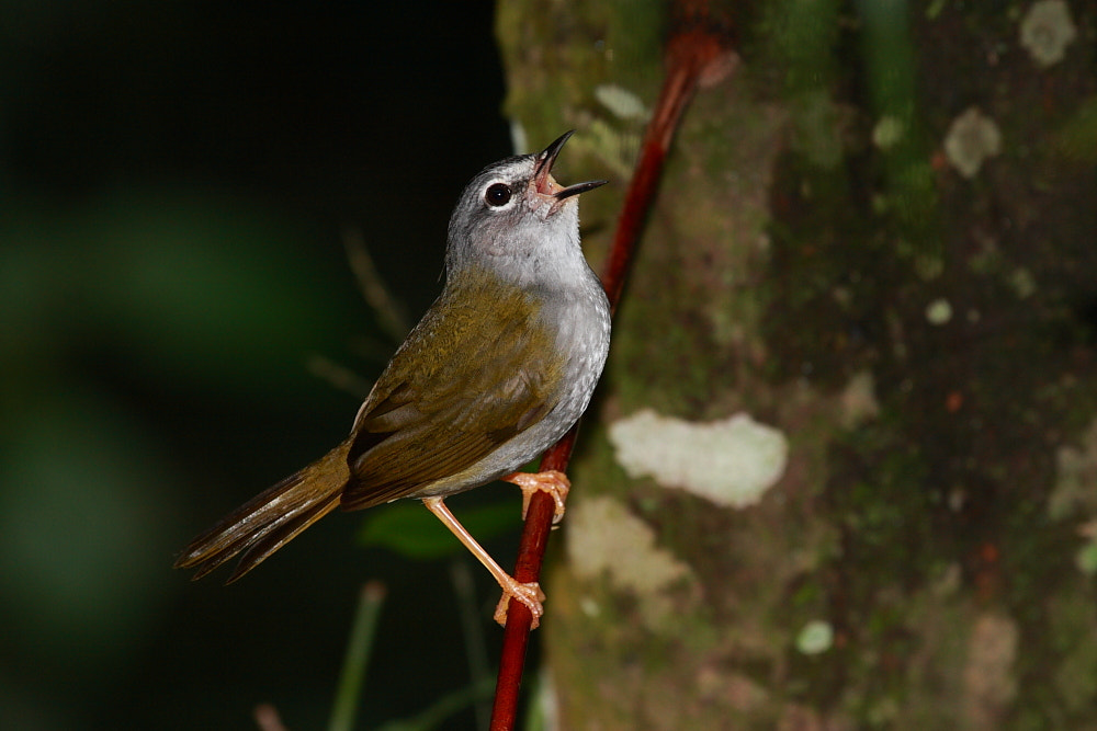 Photograph White-browed Warbler by Demis Bucci on 500px