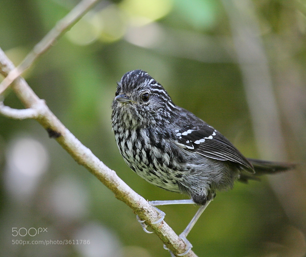 Photograph Dusky-tailed Antbird by Demis Bucci on 500px