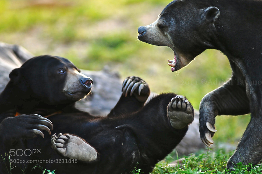 The female malayan bear gets a little intimidated by the upset male.