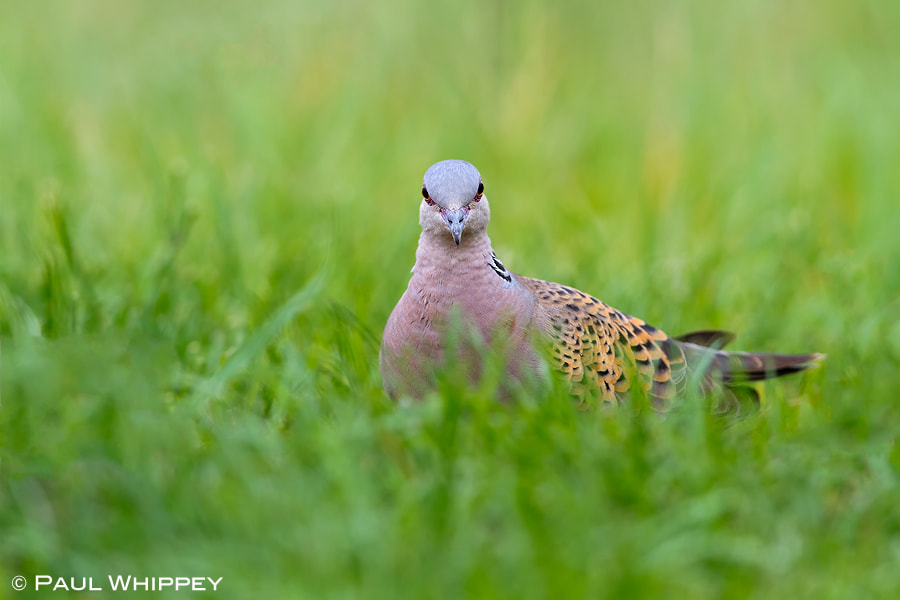 Photograph Turtle dove (Streptopelia turtur) by Paul Whippey on 500px