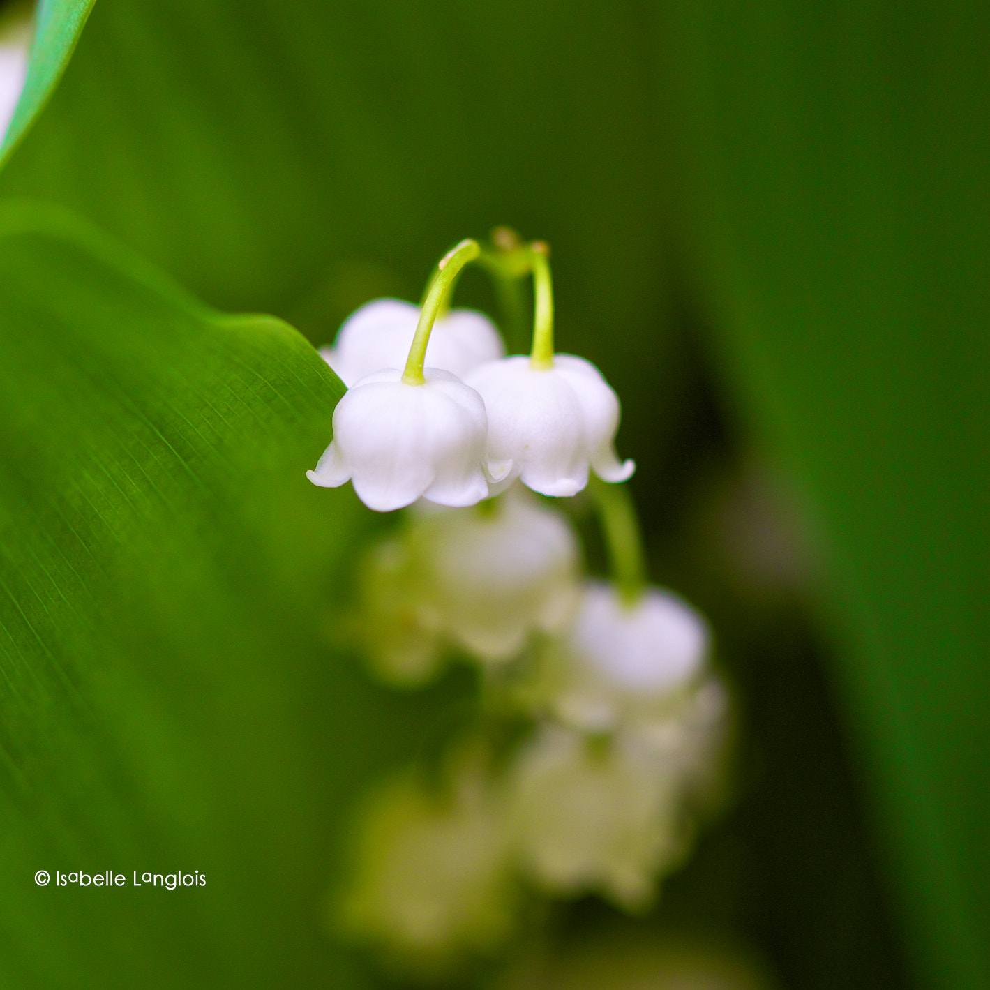 Photograph Clochettes by Isabelle Langlois on 500px
