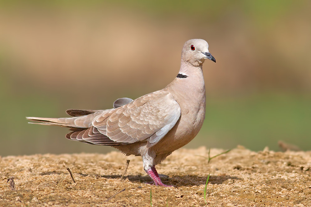 Photograph Collared Dove by Roy Avraham on 500px
