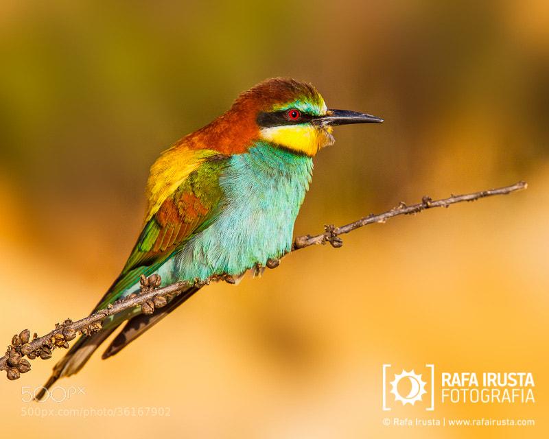 Photograph European bee-eater by Rafa Irusta on 500px