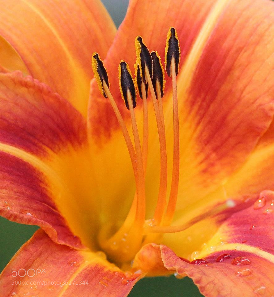Photograph Lily macro  by Paul Wyman on 500px