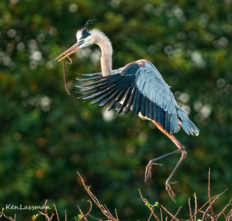 The Great Blue herons are starting to arrive, select their mates and start building their nests.  This was taken this morning just after sunrise at the Wakodahatchee Wetlands in South Florida.  They are amazing birds and fun to photograph