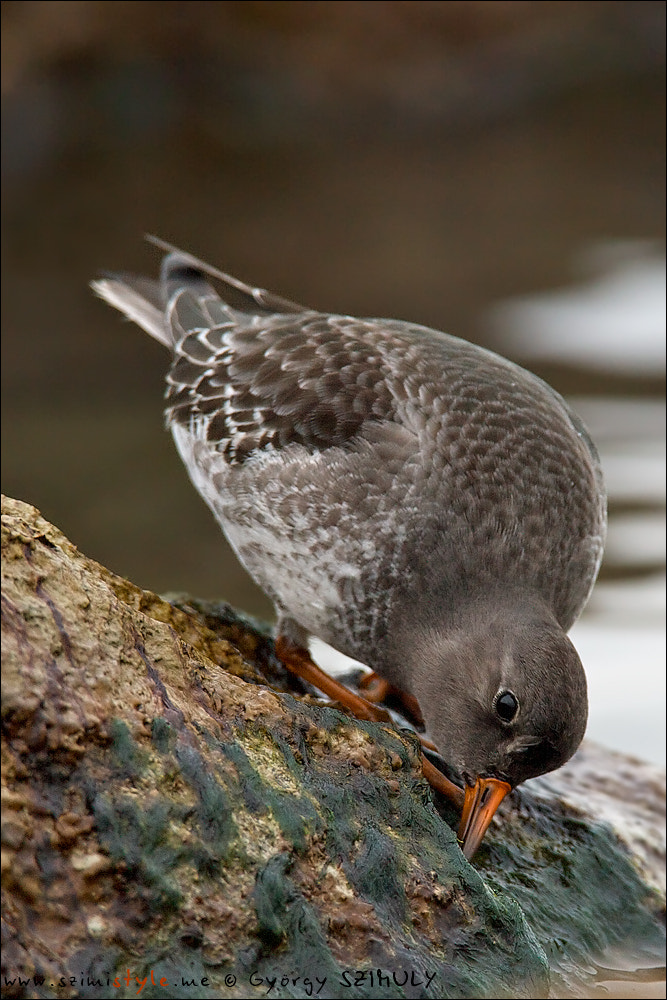 Photograph Purple Sandpiper (Calidris maritima) by Gyorgy Szimuly on 500px