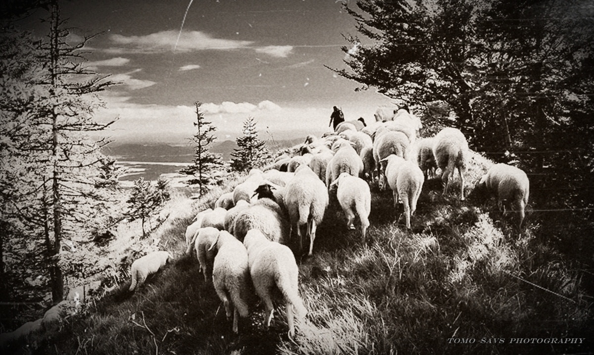 Photograph shepherd and his lambs... by Tomaž Šavs on 500px