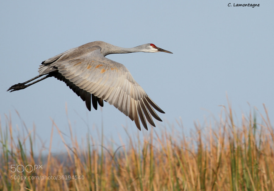 Sandhill Crane at one of the marshes I visit while in Florida in winter time.   Wishing you all a wonderful weekend!