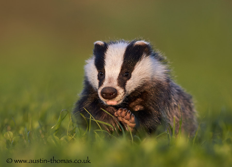 Photograph Badger... by Austin Thomas on 500px