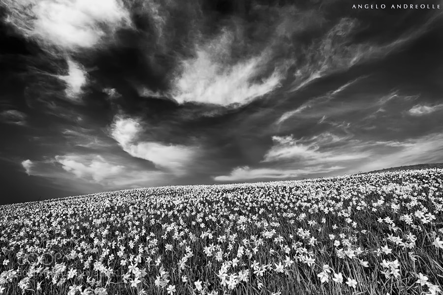Photograph Narcisi by Angelo Andreolle on 500px