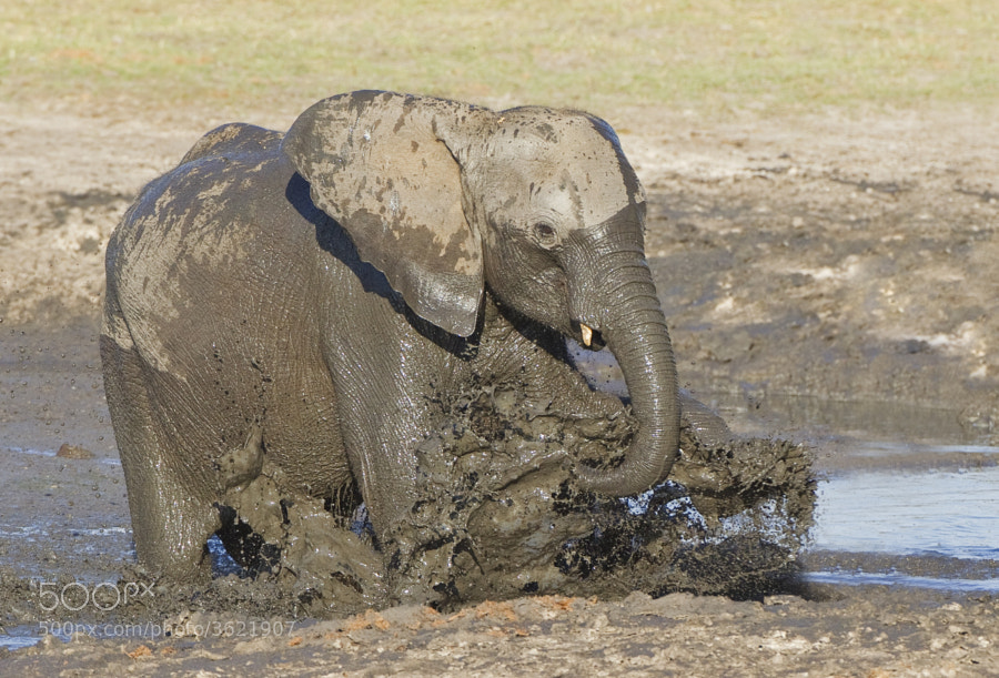 This Young Elephant has fun in Ngweshla Waterhole, Hwange National Park, Zimbabwe