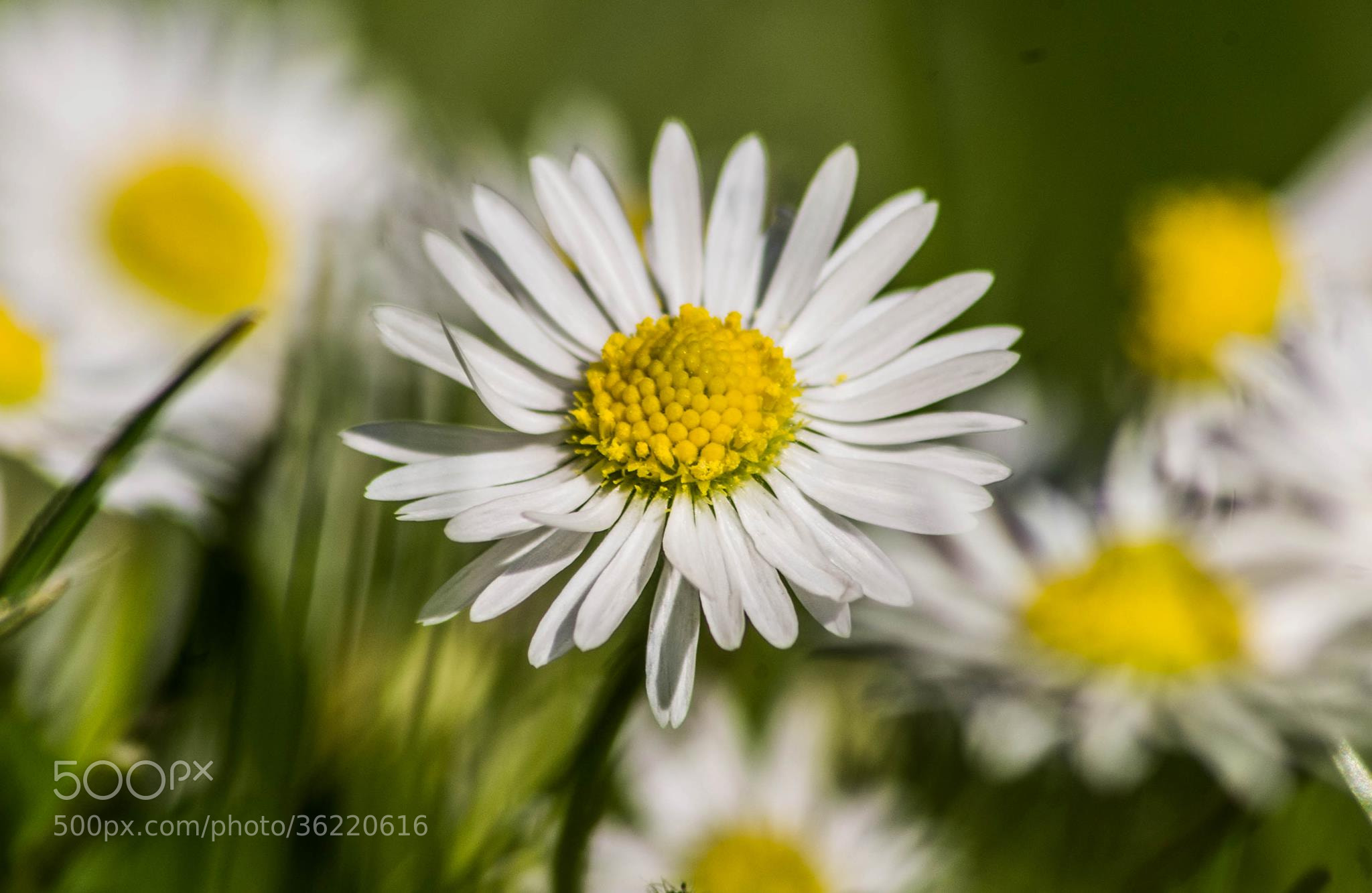 Photograph Daisy by Lee Ashman on 500px