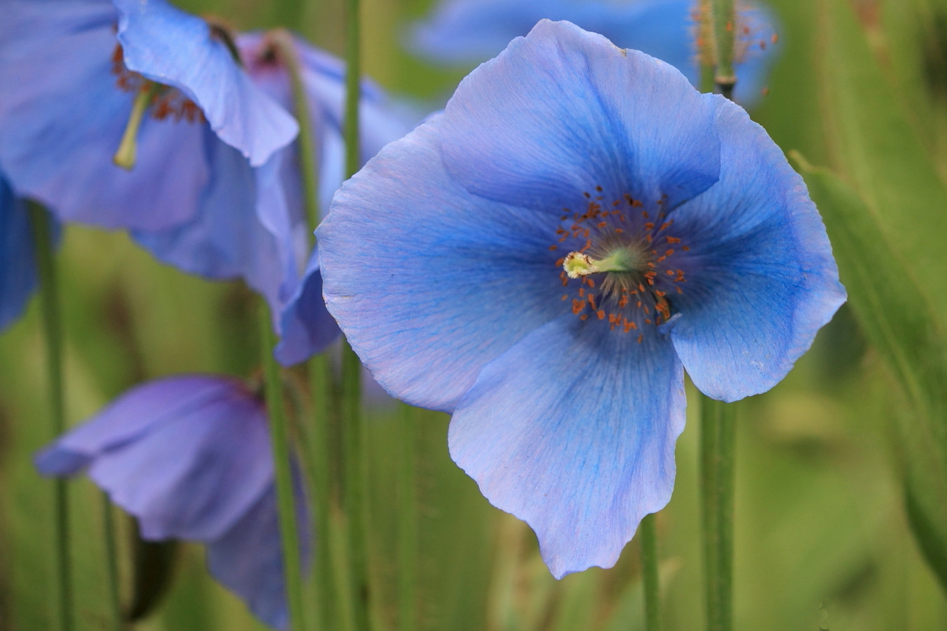 Photograph Blue Poppies by Carol  Gentle on 500px