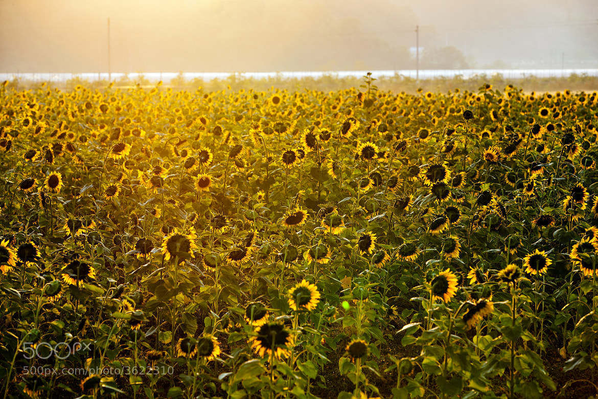 Photograph sunflowers by Reonis  on 500px