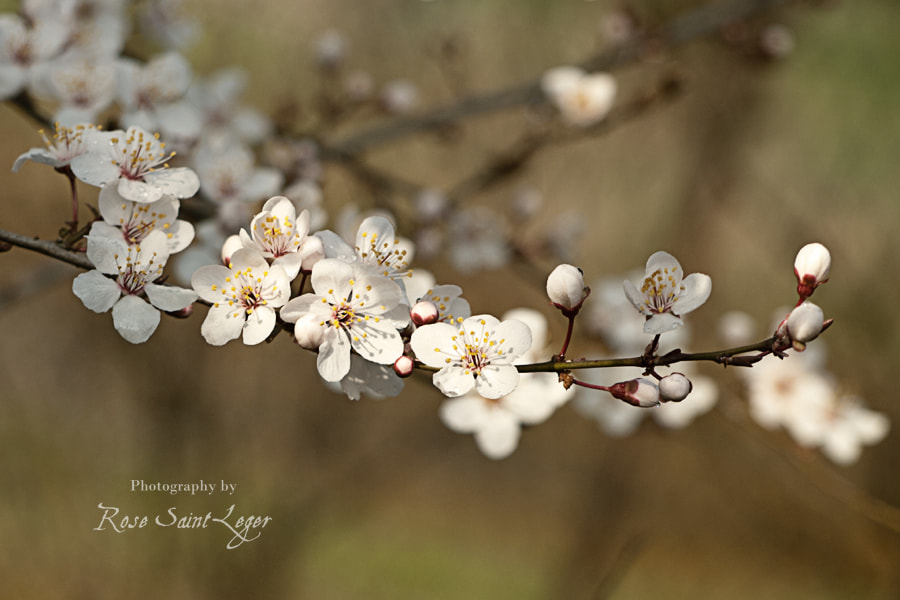 Photograph White Flowers of May by Rose Saint Leger on 500px
