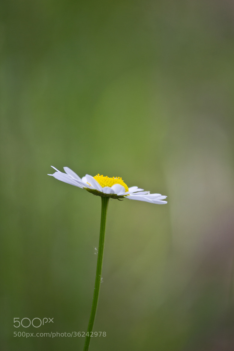 Photograph Daisy by Kelly Phillips on 500px