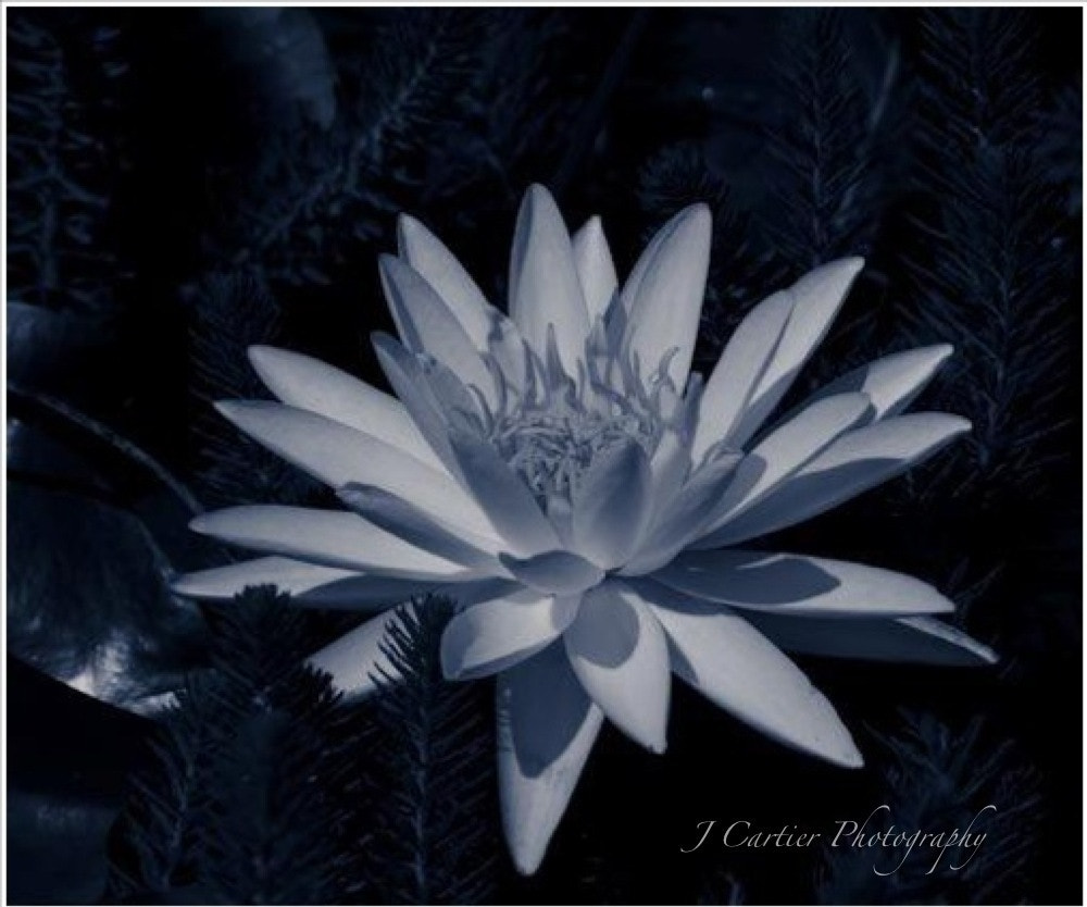 """Photograph """"European White Water Lilly"""" B&W  by Jerome Cartier on 500px"""