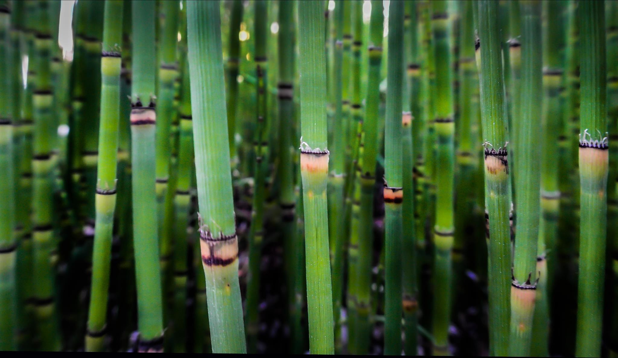 Photograph Hopdoddy Bamboo by Gino Barasa on 500px
