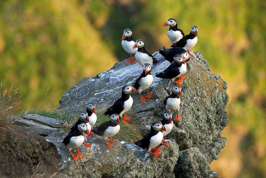 Photograph Atlantic Puffin by Evzen Takac on 500px