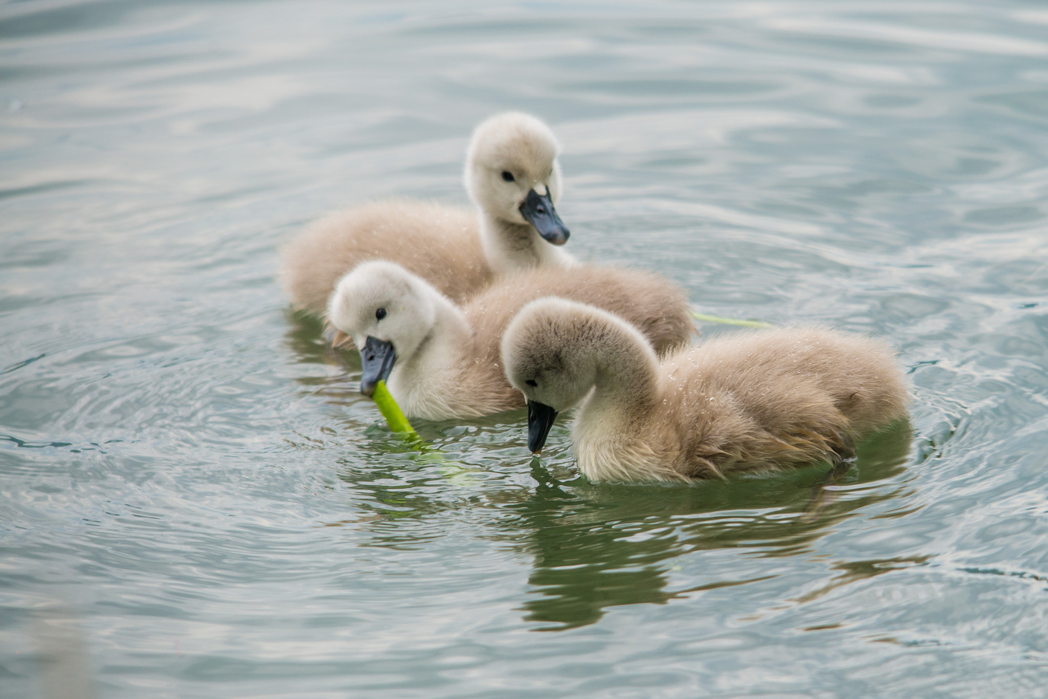 Photograph swan's family (07) by Vlado Ferencic on 500px