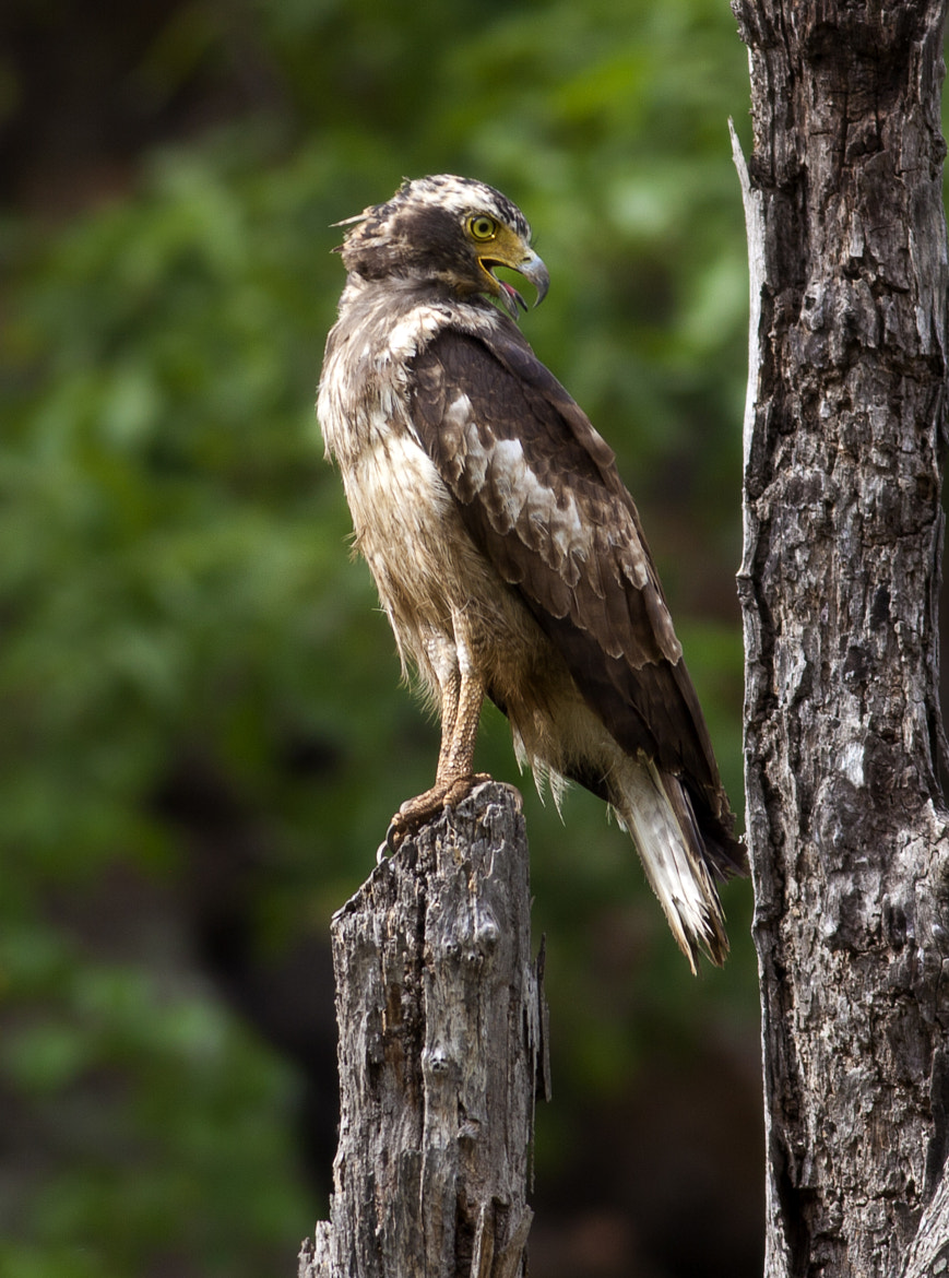 Photograph Changeable Hawk Eagle by Jassi Oberai on 500px