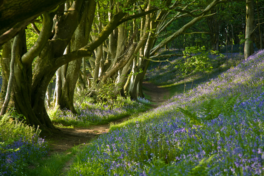Photograph Bluebell Woods by Steve Luck on 500px