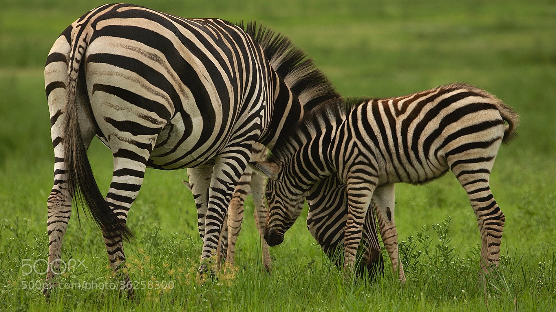Photograph Zebras by Mareko Marciniak on 500px