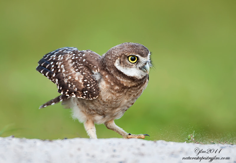 This is an image of a little juvenile burrowing owl.  He had just come out of his burrow and was stretching.  They are such characters to watch and are always doing something.   They are little clowns