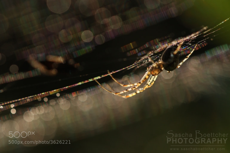 Photograph Spider Evening by Sascha Böttcher on 500px