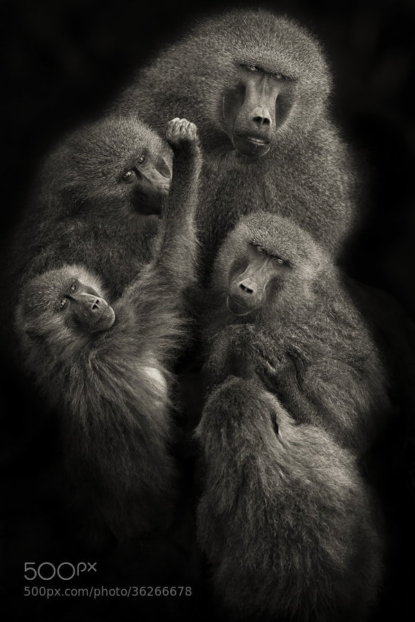 """Photograph Baboons """" United """" by Mario Moreno on 500px"""