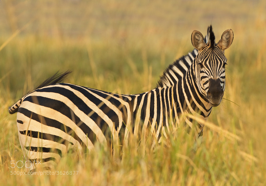 Sorry for the title, this Zebra was stood in long grass in Chikwenya concession, Zimbabwe