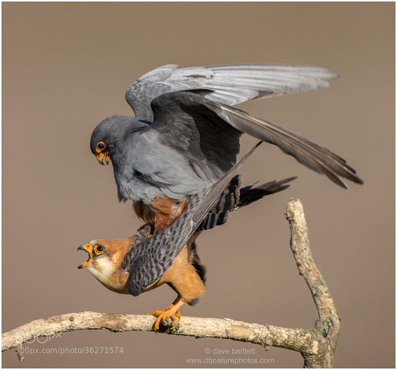 Photograph Red footed falcons by Dave Bartlett on 500px