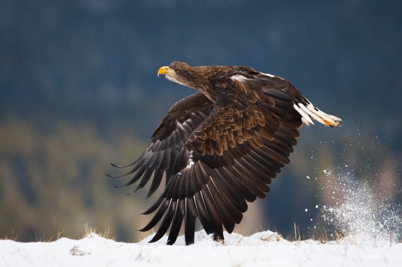 Photograph Sea eagle taking off by Ales Gola on 500px