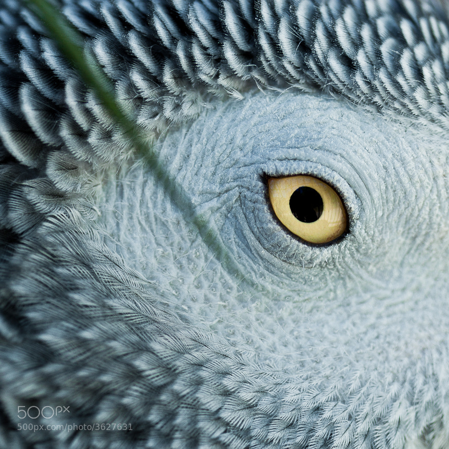 Photograph African Gray Parrot Eye by Justin Schmauser on 500px