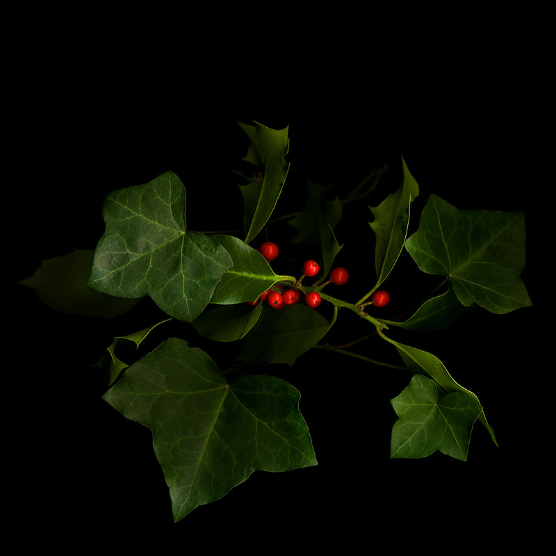 Photograph  THE COLOURS of CHRISTMAS...THE HOLLY AND THE IVY by Magda Indigo on 500px