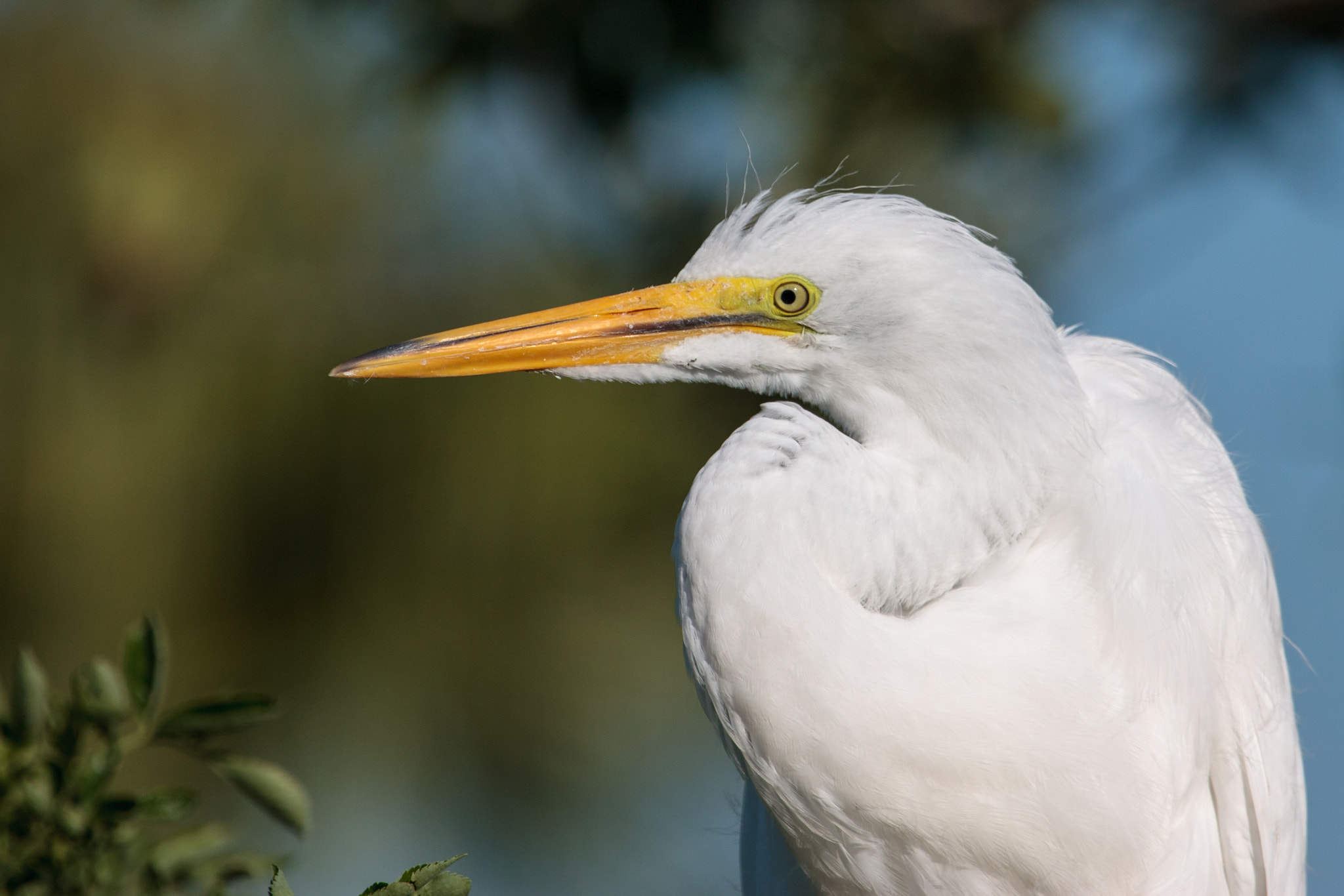 Photograph Great Egret by Bill McBride on 500px