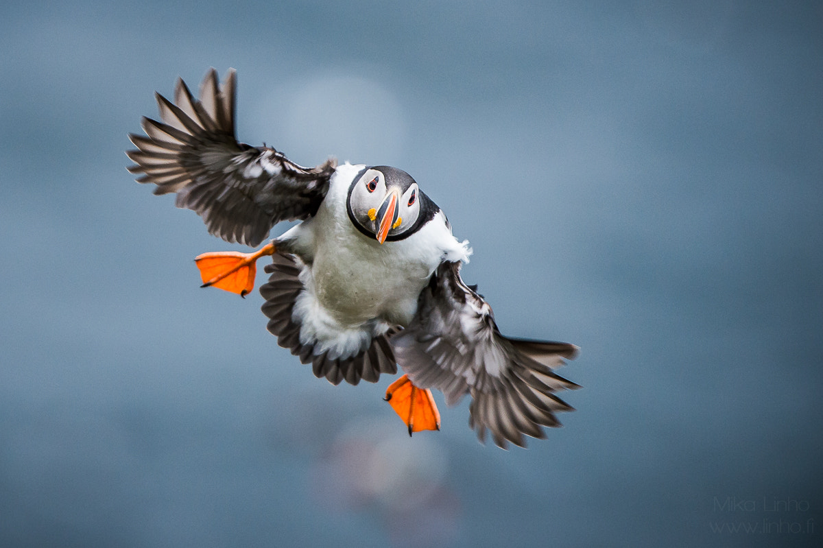 Photograph Puffin by Mika Linho on 500px