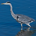 Grey Heron - Ardea cinerea, Girona, Spain
