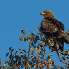 Tawny Eagle - Águila Rapaz, Kruger National Park, South Africa