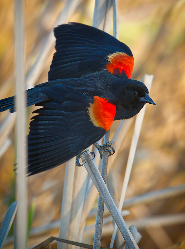 Photograph Red Shouldered Blackbird displaying by Peter Fallberg on 500px