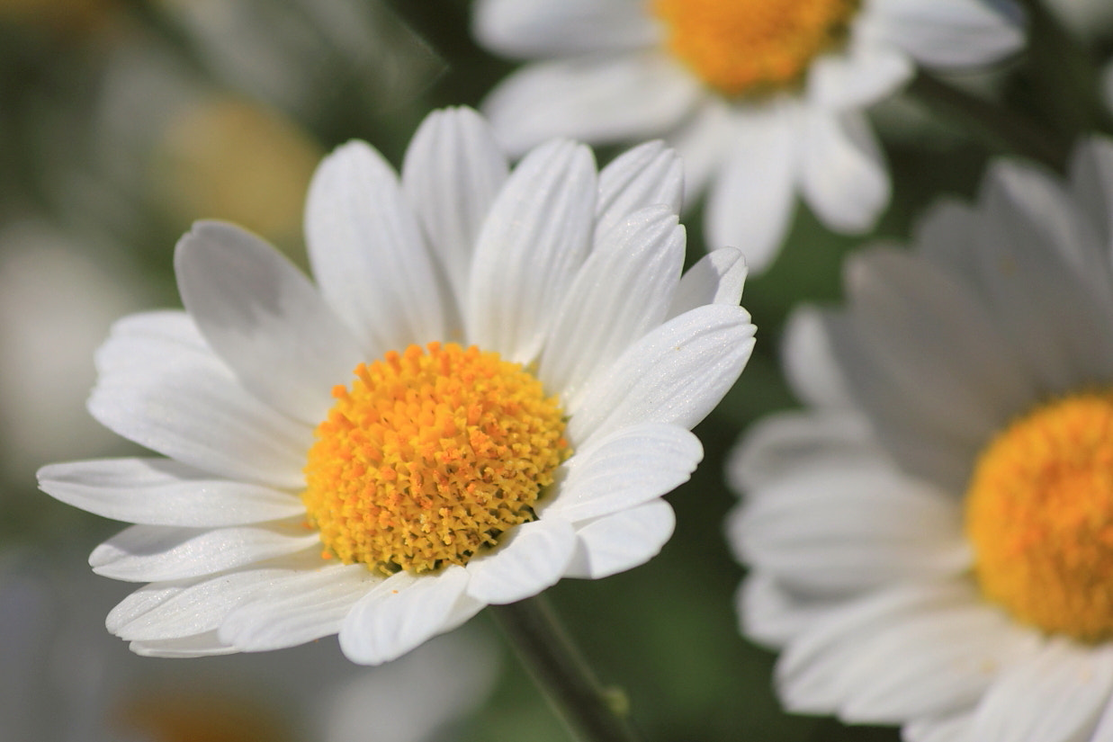 Photograph Daisy by Carol  Gentle on 500px