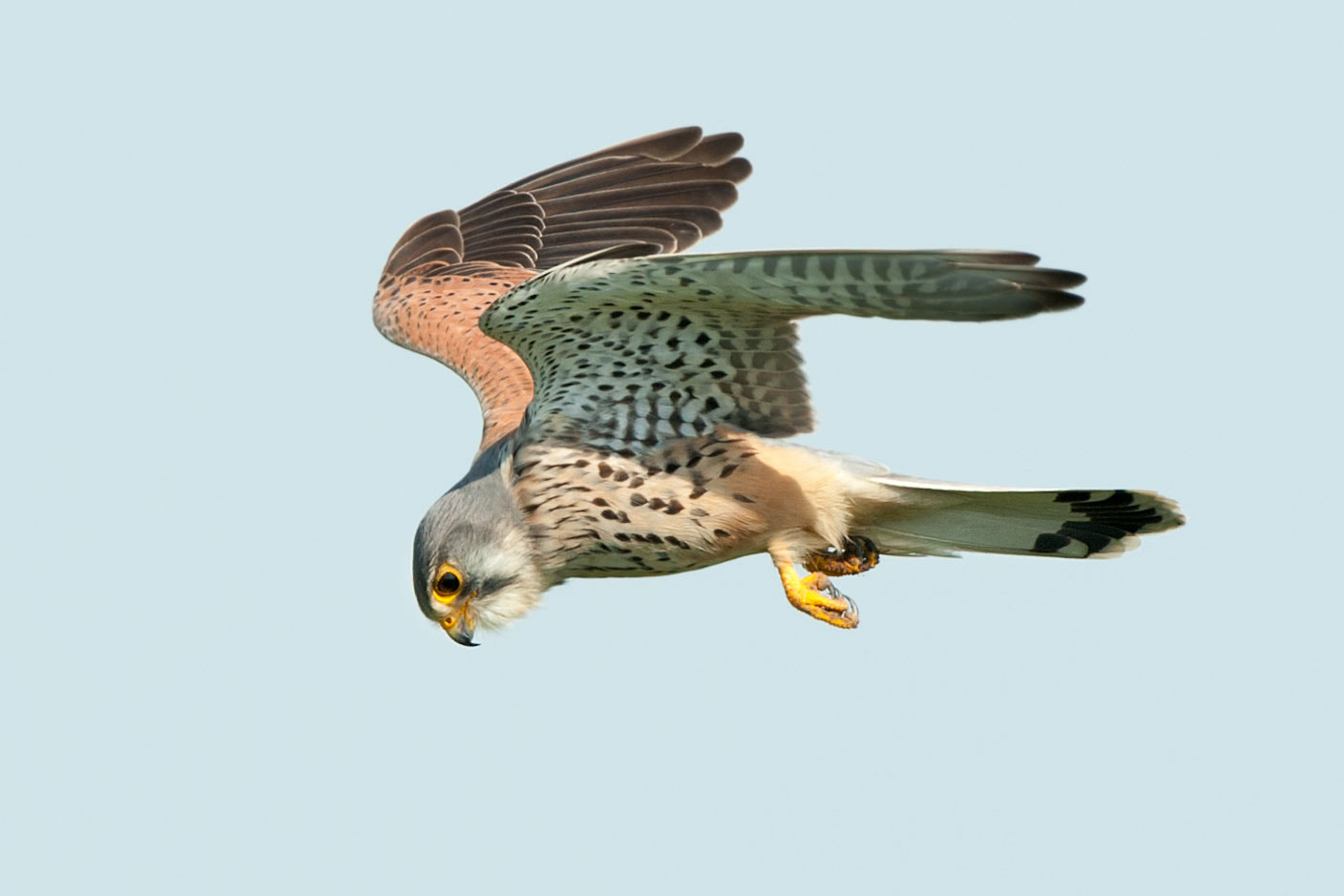 Photograph Turmfalke im Flug | Falcon (kestrel) in flight by Franz Engels on 500px