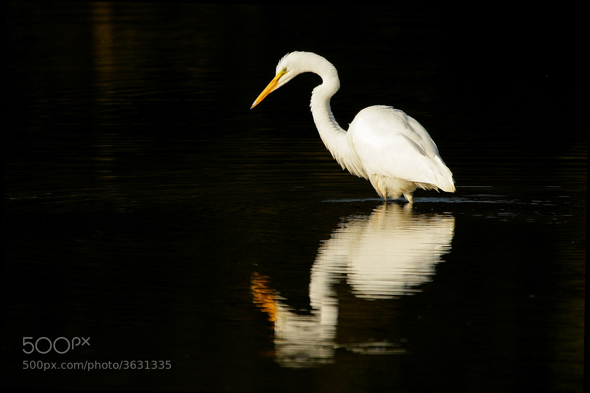 Photograph Reflecting Egret by Alex  Thomson on 500px