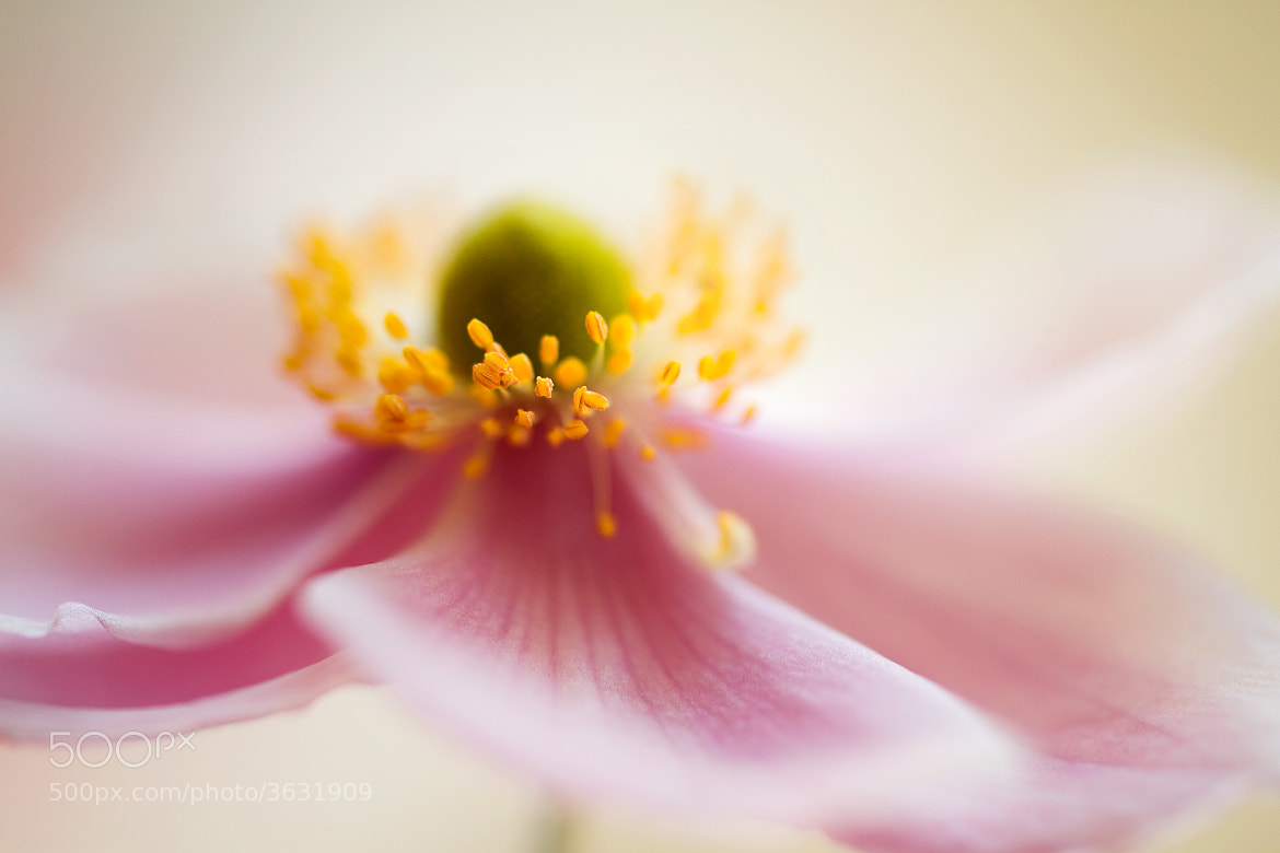Photograph Anemone soft by Mandy Disher on 500px
