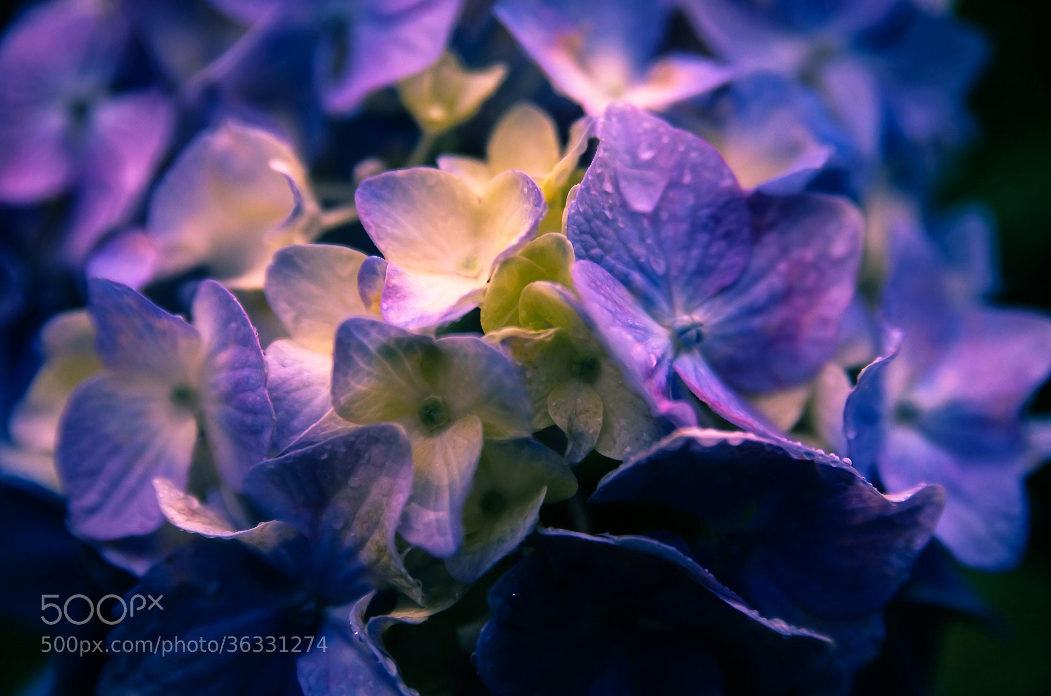 Photograph Hydrangea by Sachiko Kawakami on 500px