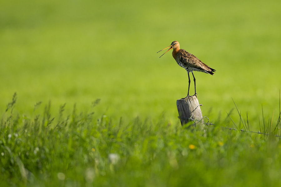 Photograph Black-tailed Godwit calling by Erik Veldkamp on 500px