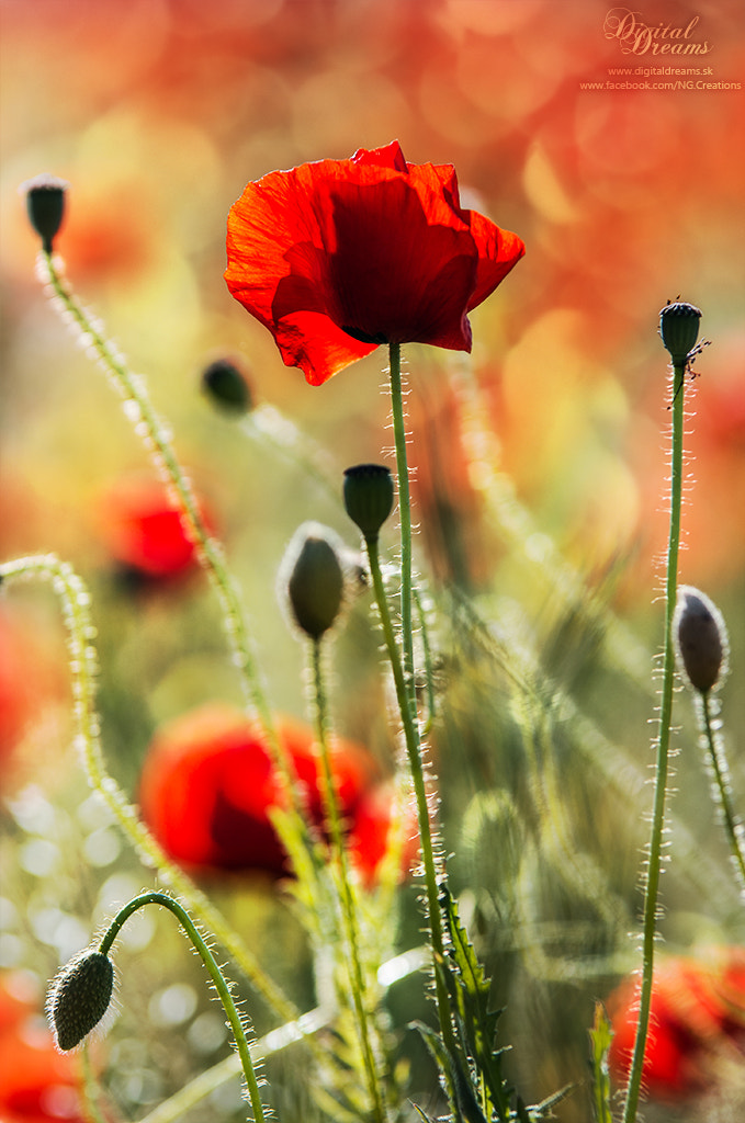 Photograph Poppy field by Norbert G on 500px