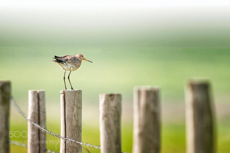 Uferschnepfe | Snipe (Black-tailed godwit)